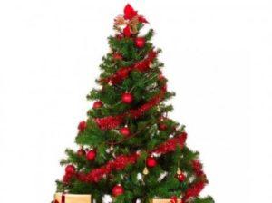 Bradul, copacul nemuritor care aduce bucuria Crăciunului